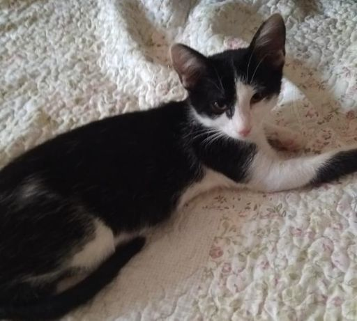 Чёрно-белый котёнок мальчик