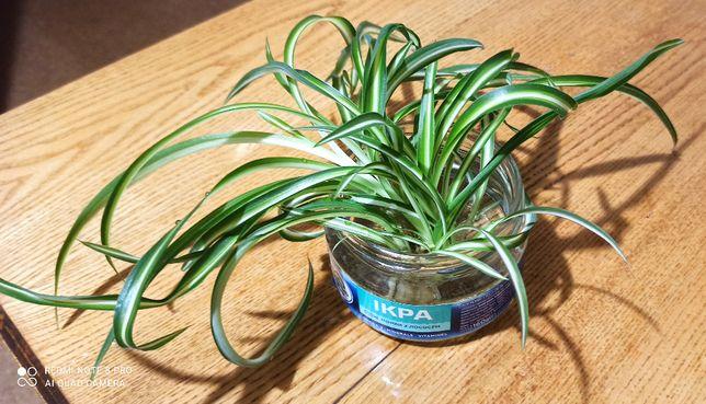 Росток растения Хлорофитум
