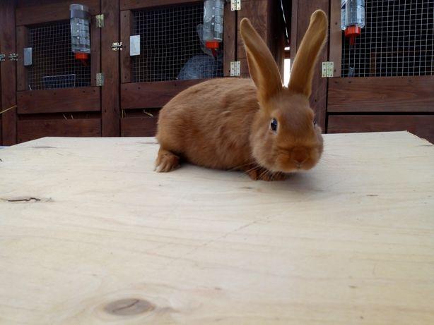 Sprzedam młode króliki Nowozelandzkie Czerwone