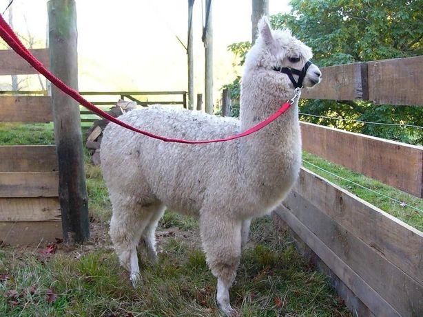 Лама альпака белоснежная девочка премиум класса