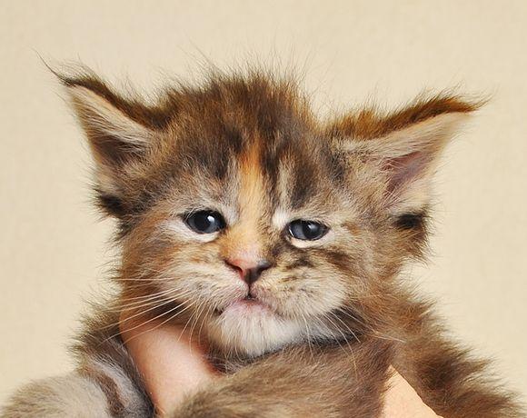Śliczna koteczka po World Championie - zarezerwowana