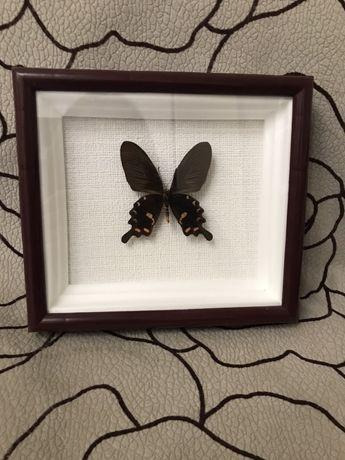 Бабочка Pachliopta kotzebuea Филиппины