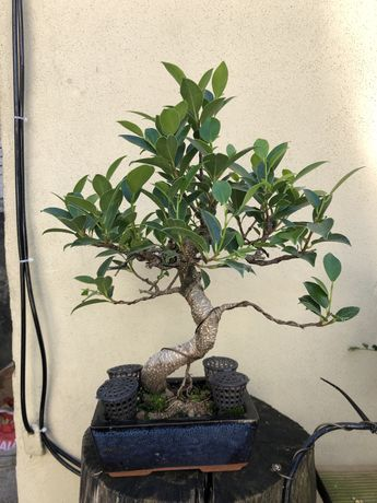 Bonsai Ficus tiger bark