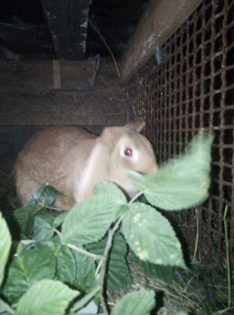 Кролик Бургундія чистої породи привезені із за кордону