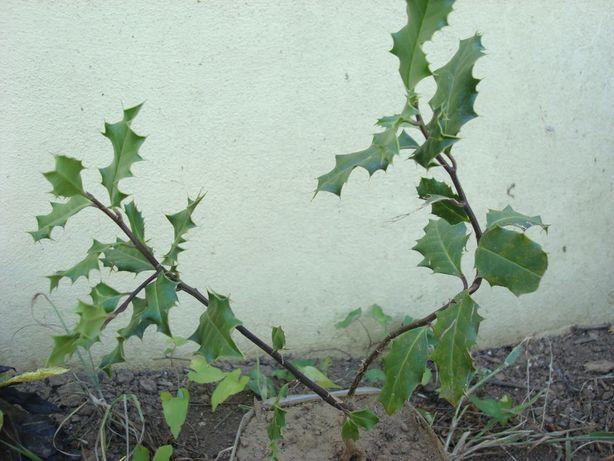 Árvore de azevinheiro