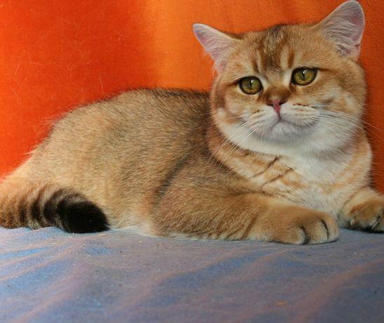 Британский котик - солнечный очаровашка.