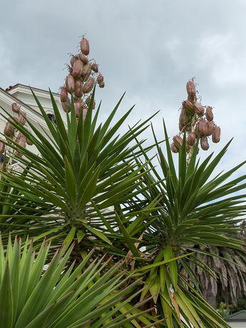 Юкка aloifolia 2,5 года