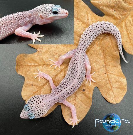 Леопардовый геккон Эублефар Ящерица ручная