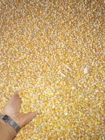 sprzedam suchą kukurydzę
