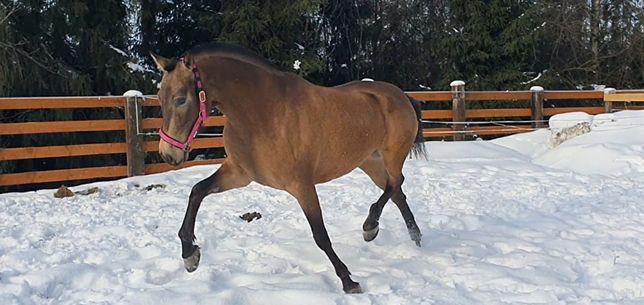 Piekna bulana klacz PRE andaluzyjska TUV 1klasa super ruch koń