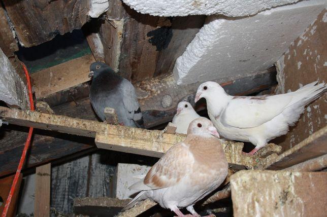 golebie mlode pocztowe