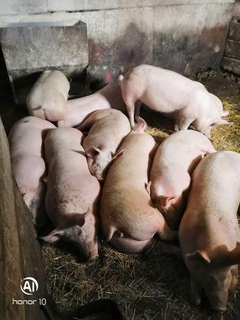 Свиньи на натуральных кормах