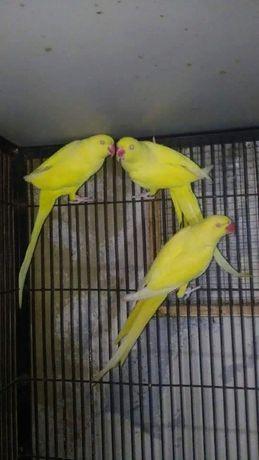 Продам ожереловых попугаев