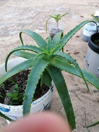 Suculentas Aloe Vera