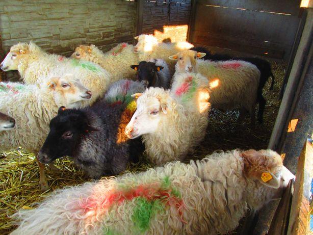 sprzedam stadko owiec
