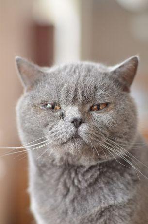 Британский короткошерстный кот Барсик