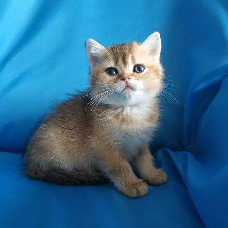Котята золотой британской шиншиллы