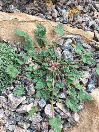 Видовая пеларгония(Pelargonium nanum )