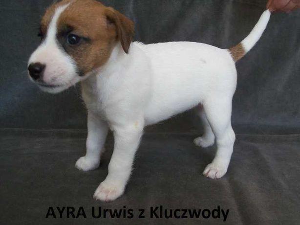 Parson Russell Terrier, szczenięta z rodowodem ZKwP, FCI