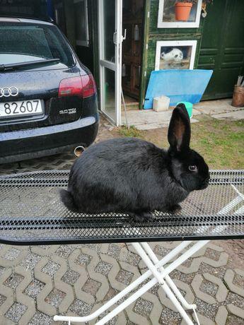 Srokacz niemiecki czarny samice króliki