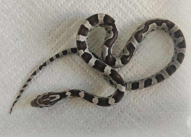 Młody wąż zbożowy