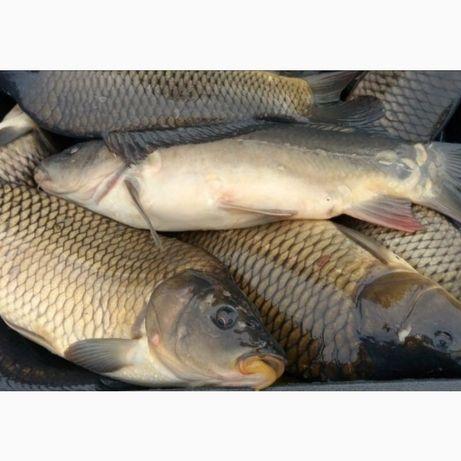 Живая рыба Карп карась оптом
