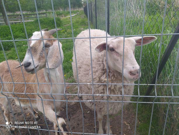 Do sprzedania owca