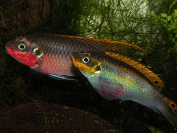 Dorosłe Barwniaki szmaragdowe nigeria red