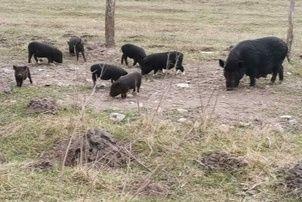 Вєтнамські поросята свині вьетнамские свиньи