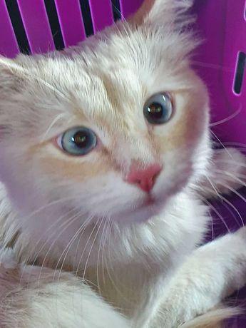 котик Тайской породы Кисель (около годика) кастрирован