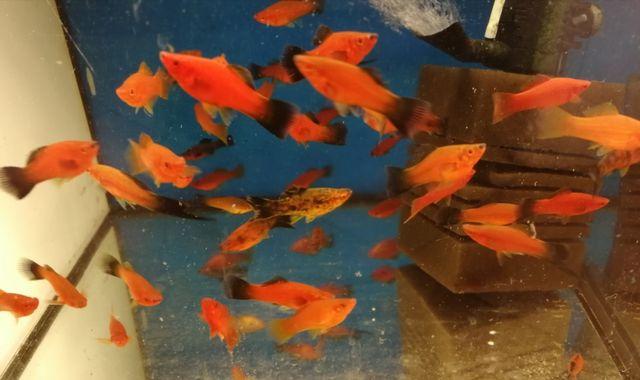 Mieczyk czerwony, wagtail Aquafizz Creative