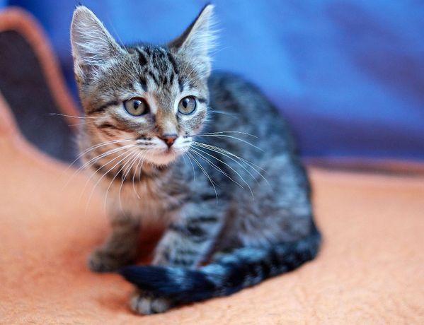 Полосатый котенок Малинка - настоящий позитивчик (2 мес.)
