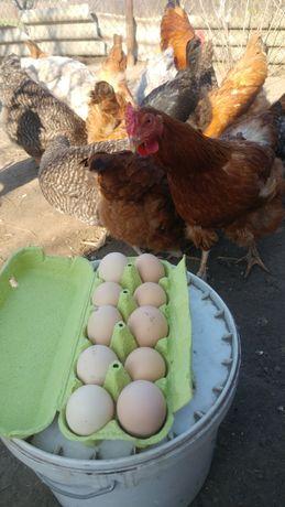 Яйца домашние из села