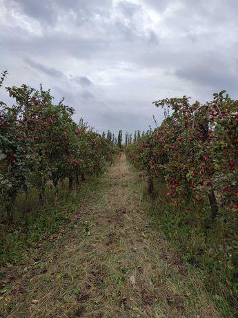 Продам яблука з саду.