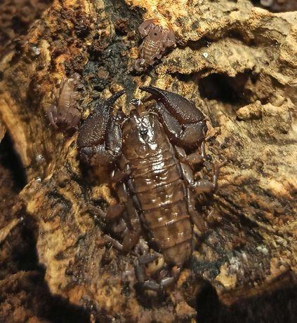 Skorpiony liocheles australasiae
