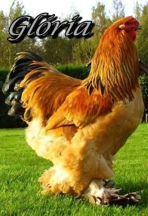 Ovos galados de galinha gigante Brahma Buff amarela
