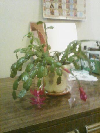 Рождественник(эпифитный кактус )