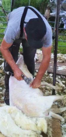 Strzyżenie owiec i alpak