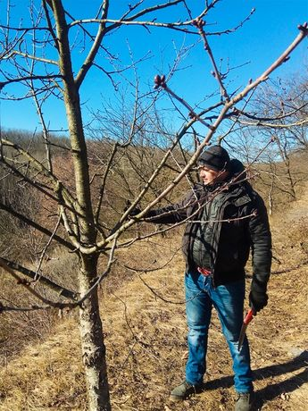 ОБРЕЗКА плодовых ДЕРЕВЬЕВ, Обрезка ДНЕПР, Обрезка винограда, Садовник