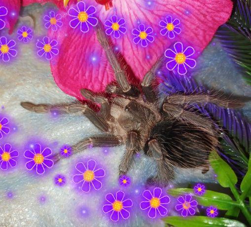 Лошадиный паук , растёт крупный , мальчик и девочка