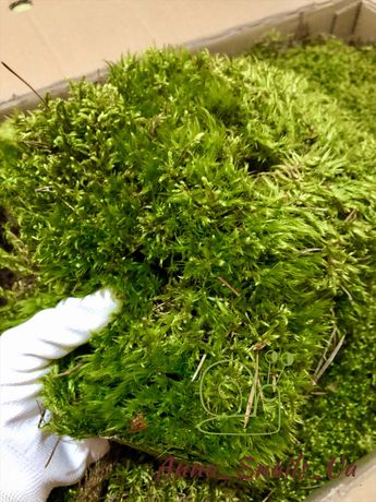 Живой лесной мох для улиток, Ягель, Ахатин, АрхАхатин