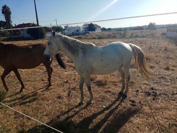 Cavalo russo capado