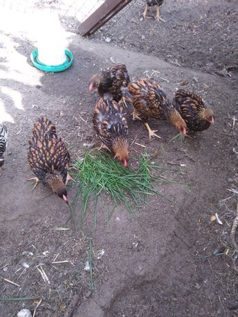 Kurczaki wyandotty
