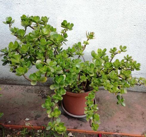 Planta Natural Jade (Crassula Ovata), atrai a Sorte e o Dinheiro