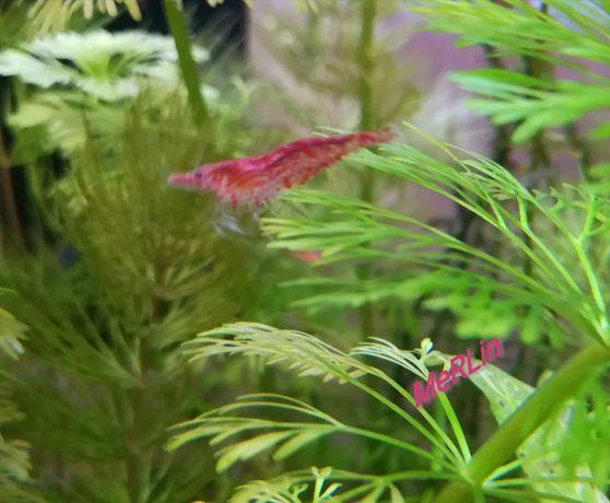 Krewetka Neocaridina krewetki Red Cherry akwarium