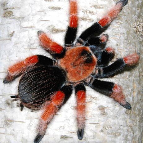 брахипельма боеми brachypelma boehmei паук птицеед павук птахоїд детям