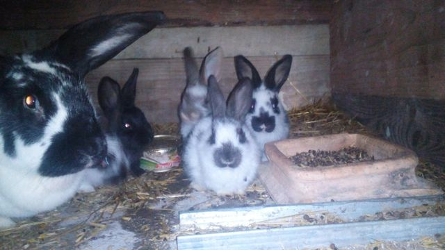Sprzedam króliki 2 samice i 3 samce