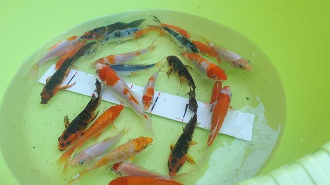Карп кои. Цветные рыбки в пруд.