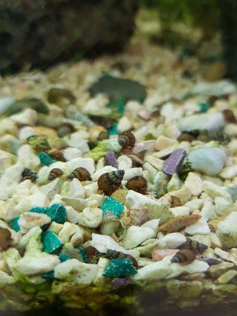 Мелании Гранифера, аквариумные улитки