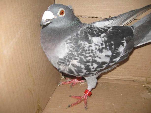 Gołębie Pocztowe Samica NL 17 Adres NPO